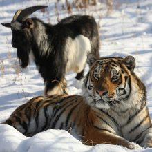 Rusijos zoologijos sode tigras susidraugavo su ožiu