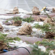 Kauniečiai pašiurpo: kas nukapojo eglutes prie savivaldybės?