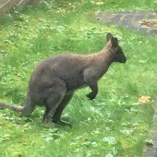 Iš filmavimo aikštelės Vilniuje pabėgusi kengūra rasta negyva