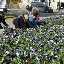Pavasarį Klaipėda skęs gėlėse