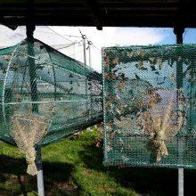 Ventės rage – migruojančių drugelių antplūdis