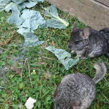 Policija pradėjo ikiteisminį tyrimą dėl Plungės rajono miške rastų 100 šinšilų
