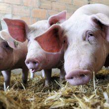 Dėl kiaulių maro viename ūkyje nugaišinta daugiau kaip 50 kiaulių