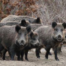 Lietuvoje per savaitę afrikinis kiaulių maras nustatytas 17 šernų
