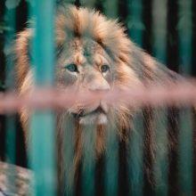Kauno tardymo izoliatoriaus nuteistieji tvarkys zoologijos sodo aplinką