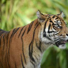 Indonezijoje sumatrinis tigras sudraskė ūkininką