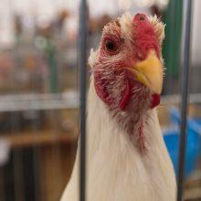 Piktybiškai nelaikant naminių paukščių aptvaruose gresia bauda iki 100 eurų