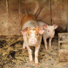 Pirmųjų AKM protrūkių ūkiuose priežastys – biosaugos pažeidimai