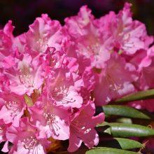 Patarimai dekoratyvinių krūmų mėgėjams: rododendrų ir magnolijų priežiūra