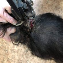 Sukrečianti istorija: į šuns kaklą įaugusi dviguba grandinė. Kas kaltas?