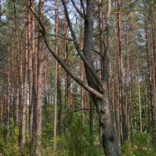 Plungės rajono miške –  degtinės darykla ir 400 litrų naminės degtinės