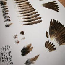 Didžiausią plunksnų kolekciją sukaupęs miškininkas nustebino ir piešiniais