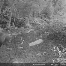 Švėkšnos miškuose pastebėjo mešką?