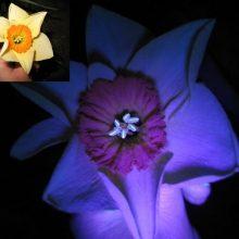 Neeilinėje paskaitoje – naujausi faktai apie išmanųjį augalų švytėjimą