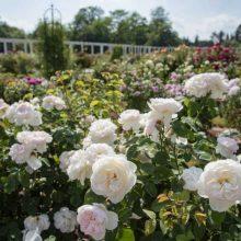 VDU Botanikos sodas paskendo rožių žiedlapiuose