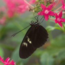 Į Botanikos sodą – gėrėtis įvairiaspalviais atogrąžų drugiais