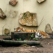 Naujo Lietuvos zoologijos sodo sezono vinis –  tigras Edas