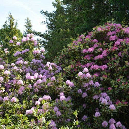 Dubravos arboretume jau pražydo rododendrai  © Valstybinių miškų urėdijos Dubravos arboretumo nuotr.