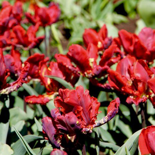 Tulpių žydėjimas Botanikos sode  © Botanikos sodo nuotr.