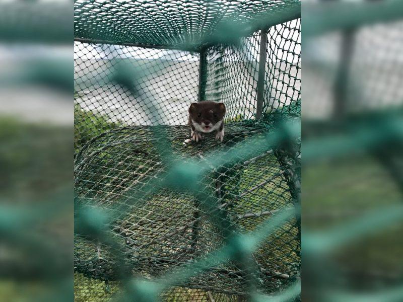 Ventės rago ornitologinėje stotyje keistas atvejis: paukščių tinkluose – žebenkštis