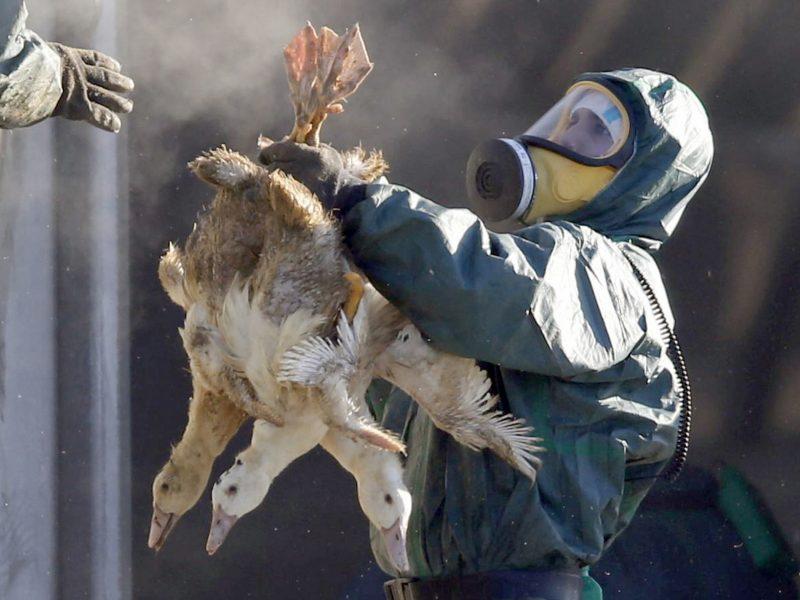 Paukščių gripas plinta į Slovakiją, Vengriją ir Rumuniją: pasieks ir mus?