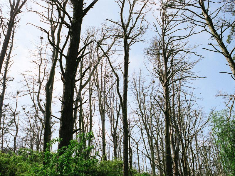 Juodkrantės sengirėje bus šalinami kenkėjų sužaloti medžiai