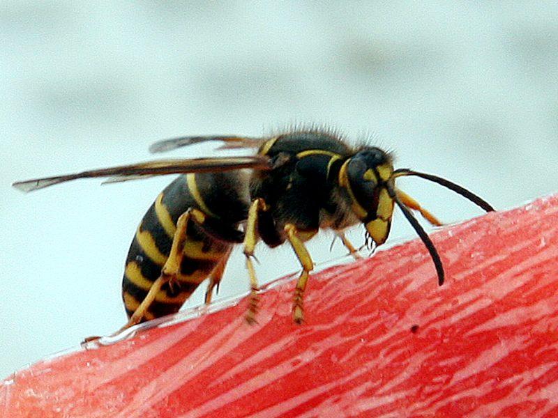 Adrenalino švirkštas – nuolatinis palydovas vabzdžių sezono metu
