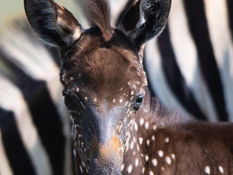 Fotografas įamžino ypatingą gyvūną – taškuotą zebrą