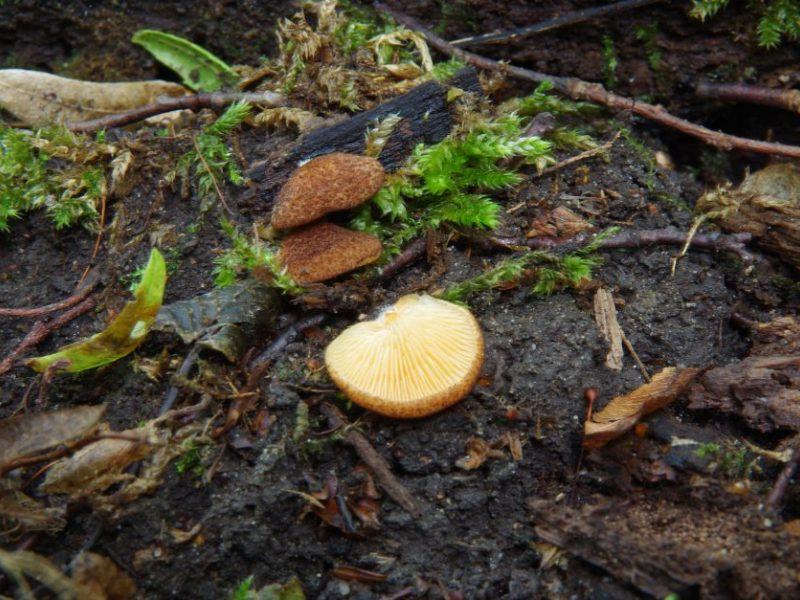 Buktos miške aptikta naujų grybų rūšių