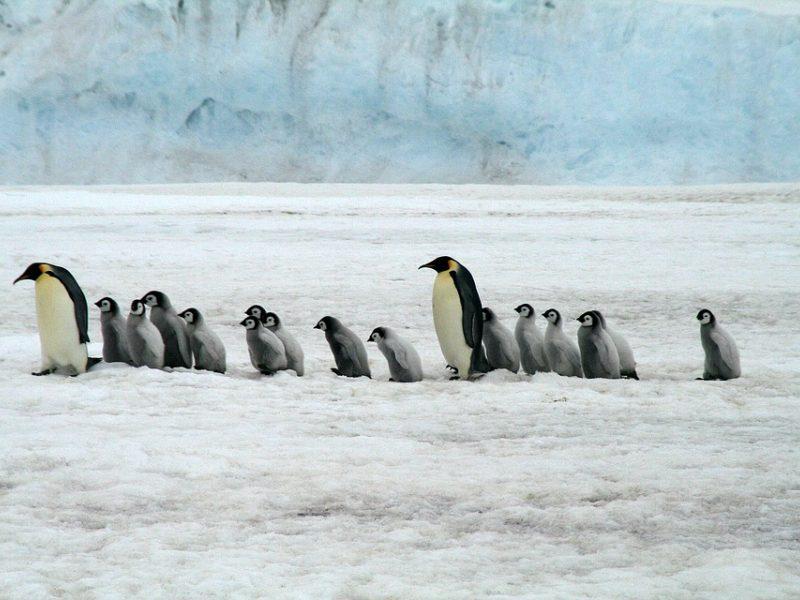 Kaip pingvinai ištisus mėnesius praleidžia ant Antarktidos ledo, bet nesušąla pėdų?