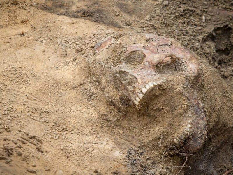 Kalvarijos apylinkėse laukuose – žmogaus kaulai ir artilerijos sviedinys