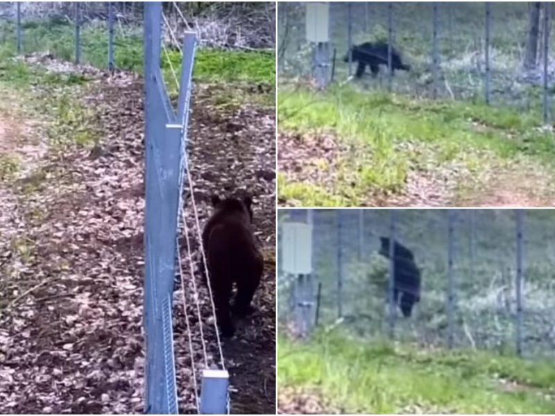 Pasienyje – netikėtas vaizdas: meška nelegaliai bandė patekti į Lietuvą
