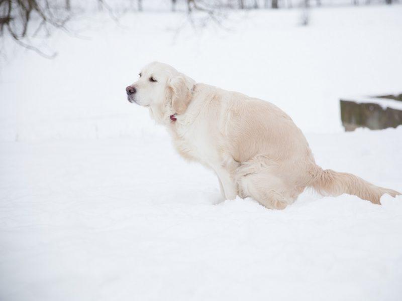 Vaistininkai įspėja: sniege paliktos augintinių išmatos gali sukelti ir sveikatos problemas
