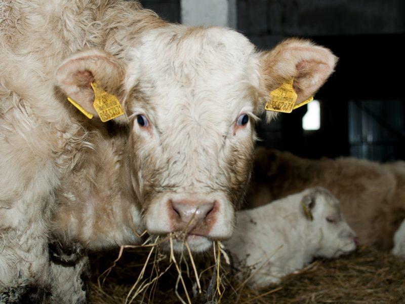 Šiaulių rajone ūkininkė pusbadžiu laiko vos pastovinčius gyvulius