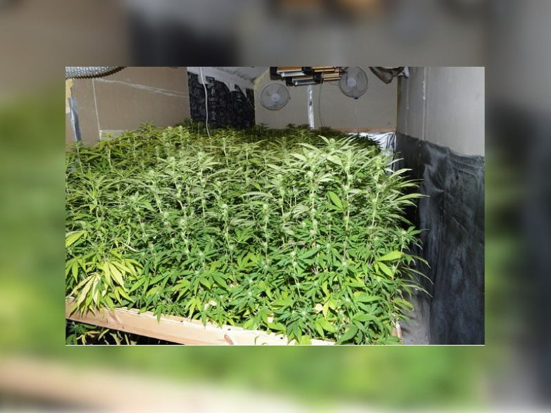 Lietuvio namuose Anglijoje rastas kanapių derlius