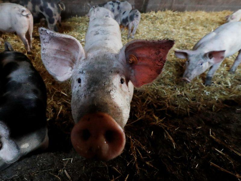 Kiaulių maro grėsmė: Suomija nuo Rusijos atsitvers tvora
