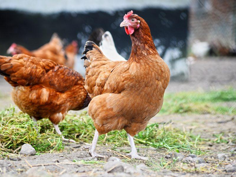 Apriboti naminių paukščių galimybę laisvai judėti lauke privaloma visiems paukščių laikytojams