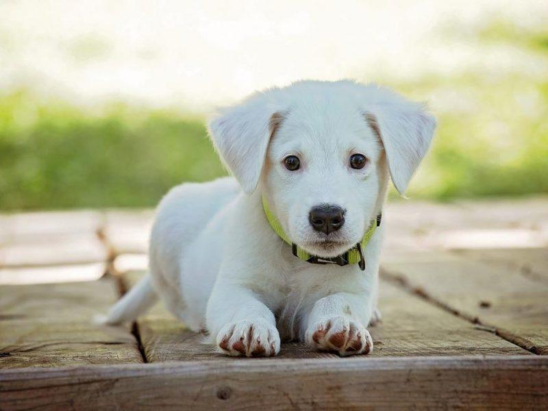 Šunų savininkai Norvegijoje sunerimę dėl plintančių pavojingų infekcijų