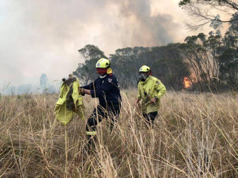 Australijos krūmynų gaisrai smarkiai paveikė koalų populiaciją