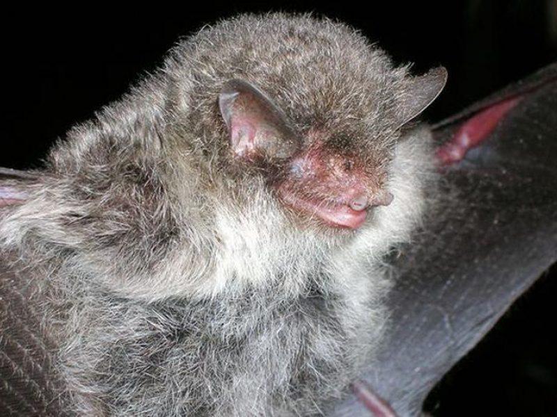 šikšnosparnių prekybos sistema