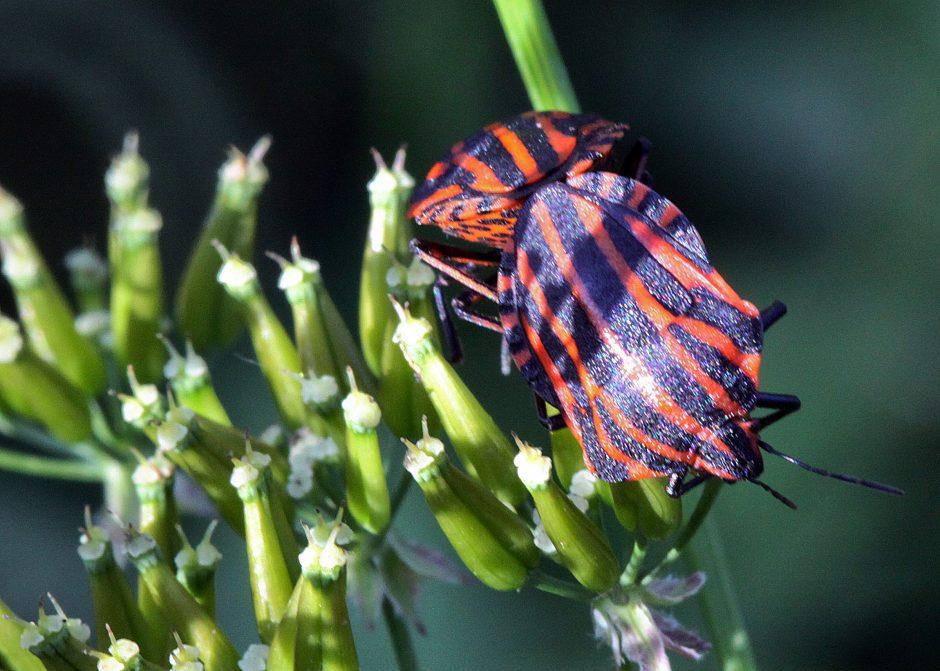 Gamtininkai be komentarų: atrasta pirmoji vabzdžių rūšis, kurios patelės turi varpą - liberoblius.lt