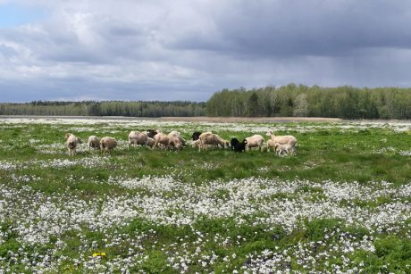 Kretuono ežero salos kraštovaizdžiu rūpinasi daugiau nei šimtas avių