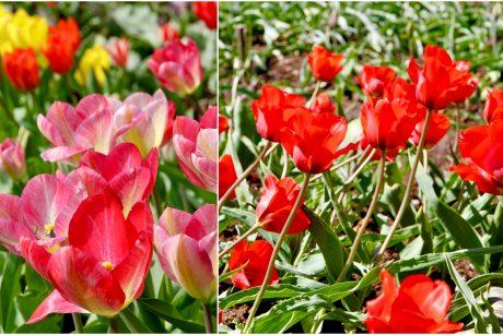 Šiltą savaitę – gausiausias tulpių žydėjimas Botanikos sode