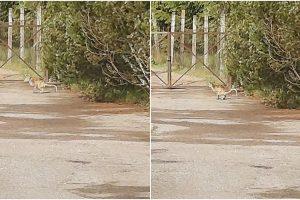 kengūra turi dvi varpos