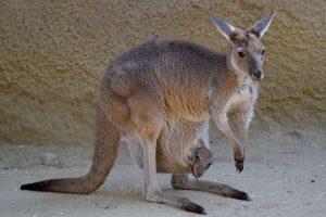 kiek varpų turi kengūra)