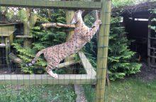 Kaune rasta 14, įtariama, neteisėtai laikomų kačių hibridų ir laukinių kačių <span style=color:red;>(vaizdo įrašas)</span>